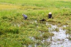 Campos del arroz inundados después de fuertes lluvias imagen de archivo