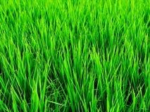 Campos del arroz foto de archivo libre de regalías