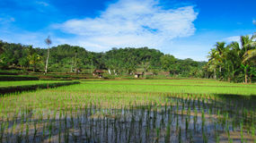 Campos del arroz y cielo azul imagen de archivo libre de regalías