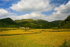Campos del arroz y nubes blancas imagen de archivo