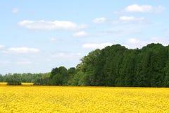 Campos del Canola de Indiana Foto de archivo libre de regalías