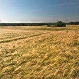 Campos del cereal Foto de archivo libre de regalías