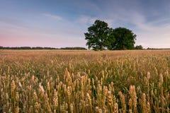 Campos del cereal Imagen de archivo libre de regalías