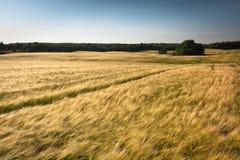 Campos del cereal Fotografía de archivo libre de regalías