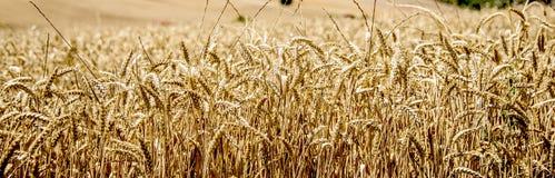Campos del cereal, cebada Fondo Fotos de archivo libres de regalías