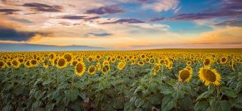 Campos del este del girasol de los llanos de Colorado fotografía de archivo