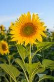 Campos del girasol durante puesta del sol Compuesto de Digitaces de una salida del sol sobre un campo de girasoles amarillos de o Imágenes de archivo libres de regalías