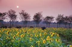 Campos del girasol en puesta del sol Imagen de archivo libre de regalías