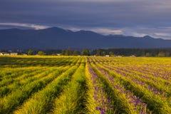 Campos del iris púrpura en la puesta del sol Fotografía de archivo