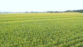 Campos del maíz almacen de metraje de vídeo