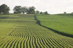 Campos del maíz y de las sojas jovenes en luz del sol de la última hora de la tarde fotografía de archivo