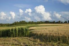 Campos del maíz y de trigo en Minnesota en día de verano brillante Imágenes de archivo libres de regalías