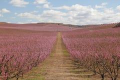 Campos del melocotón en rosa imagenes de archivo