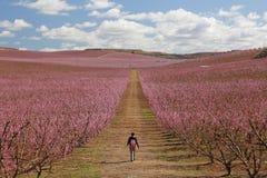 Campos del melocotón en rosa Imagen de archivo libre de regalías