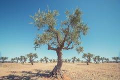 Campos del olivo con el suelo Comcept de la agricultura Foto de archivo