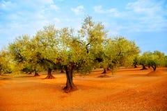 Campos del olivo en suelo rojo en España imagen de archivo libre de regalías