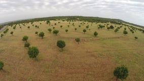 Campos del oro con los árboles (subida) - vuelo aéreo, Mallorca almacen de metraje de vídeo
