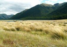 Campos del oro - Nueva Zelandia Imagen de archivo libre de regalías