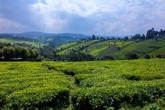 Campos del té imágenes de archivo libres de regalías