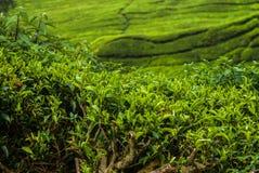 Campos del té en Cameron Higlands Fotos de archivo