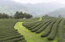 Campos del té en Mae Salong Chiang Rai, Tailandia Fotos de archivo libres de regalías
