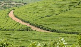 Campos del té en resorte Foto de archivo