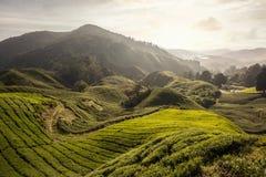 Campos del té en una colina por la mañana Imagen de archivo