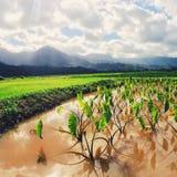 Campos del taro en la isla de Kauai Imagen de archivo