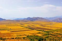 Campos del trigo amarillos Fotografía de archivo libre de regalías