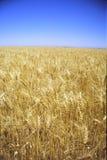 Campos del trigo de oro Imagen de archivo libre de regalías