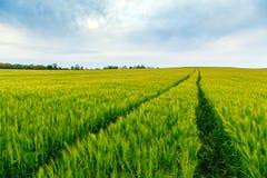 Campos del trigo verdes fotos de archivo libres de regalías
