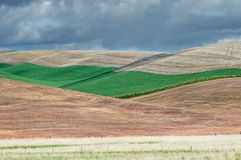 Campos del trigo verdes rodantes Imagen de archivo