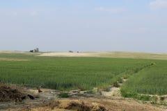 Campos del trigo y del chikpea Fotos de archivo