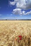 Campos del trigo y del cielo azul Fotos de archivo libres de regalías