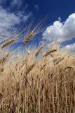 Campos del trigo y del cielo azul Imagenes de archivo