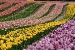 Campos del tulipán Fotografía de archivo libre de regalías