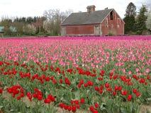 Campos del tulipán Imagen de archivo libre de regalías