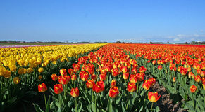 Campos del tulipán Imagen de archivo