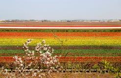 Campos del tulipán de Holanda Fotografía de archivo