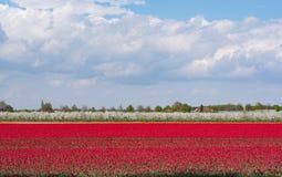 Campos del tulipán de la primavera y manzanar rojos del blossomig Imagen de archivo