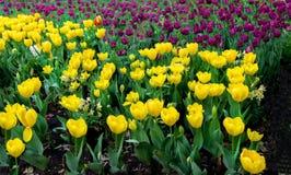 Campos del tulipán en púrpura y amarillo Imágenes de archivo libres de regalías