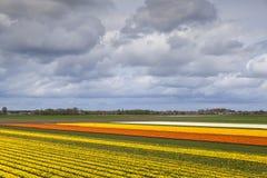 Campos del tulipán en Países Bajos del norte Foto de archivo