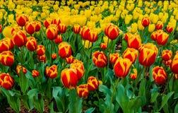 Campos del tulipán en rojo y amarillo Imagenes de archivo