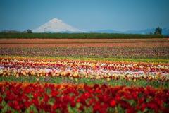 Campos del tulipán, montaña nevada Imagenes de archivo
