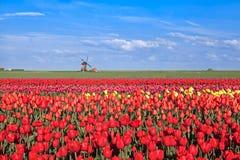 Campos del tulipán y molino de viento rojos, rosados, amarillos Fotografía de archivo