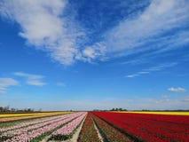 Campos del tulip?n en Holanda septentrional imágenes de archivo libres de regalías