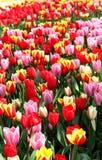 Campos del tulipán de Holanda Fotos de archivo libres de regalías