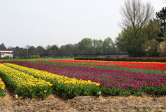 Campos del tulipán de Holanda Foto de archivo libre de regalías
