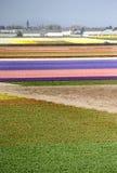 Campos del tulipán de Holanda Imagen de archivo