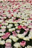 Campos del tulipán de Holanda Fotos de archivo